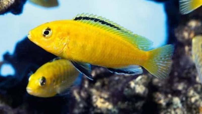 Jenis Ikan Lemon