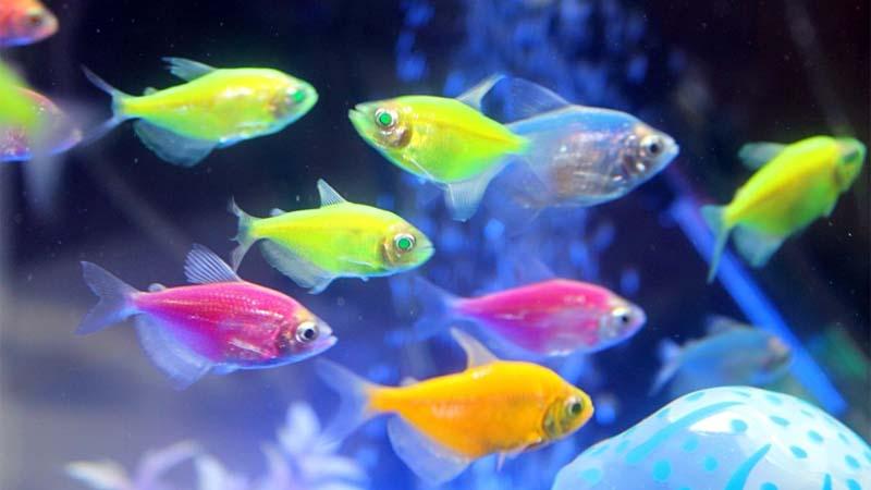 Jenis Ikan Neon