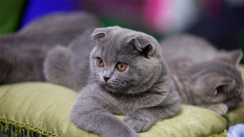 Jenis Kucing Scottish Fold