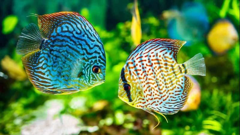 Karakter Ikan Discus