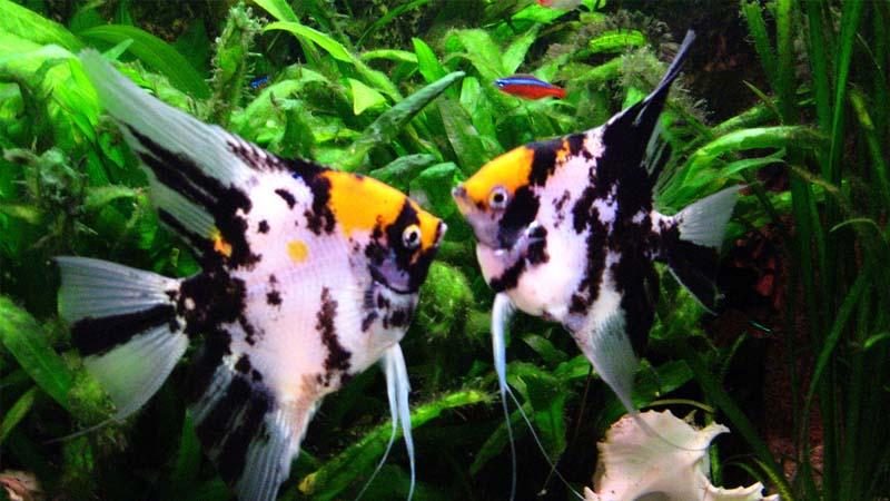 Ikan Manfish Harga Jenis Karakteristik Cara Budidaya Dan Merawat
