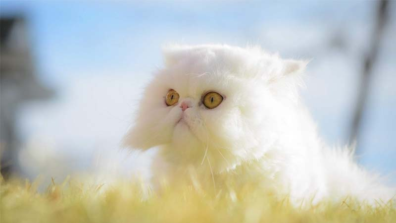 Karakteristik Kucing Exotic Shorthair