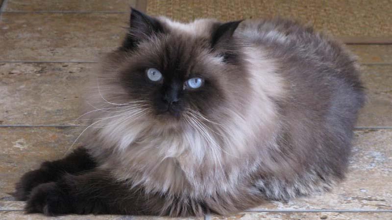 Karakteristik Kucing Himalaya