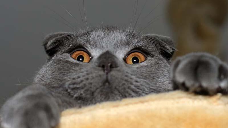 Karakteristik Kucing Scottish Fold