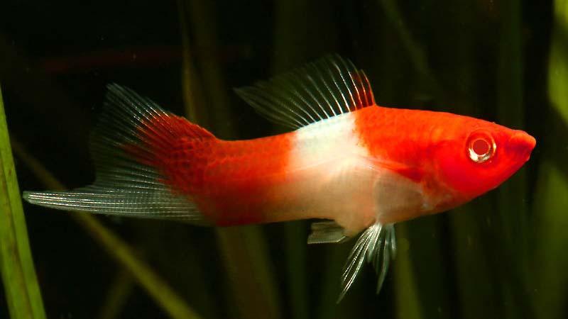 Ikan Pedang Harga Jenis Cara Merawat Dan Cara Budidaya