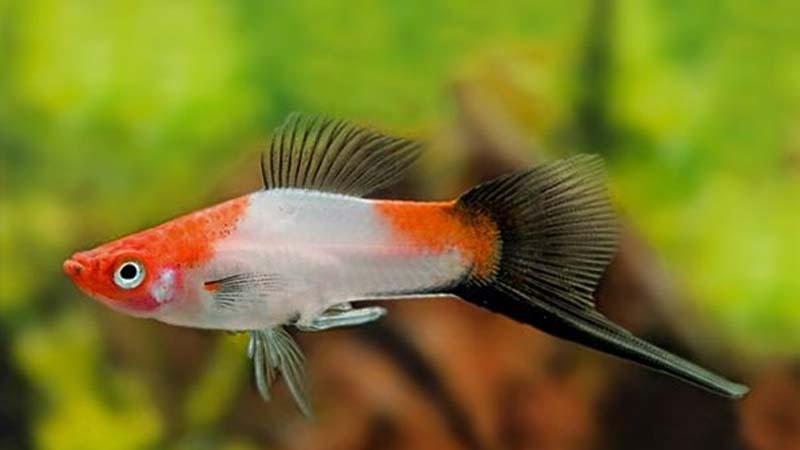 Kohaku Wagtail Swordtail