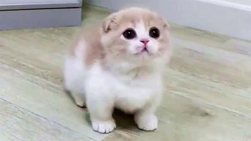 Kucing Munchkin yang Sakit
