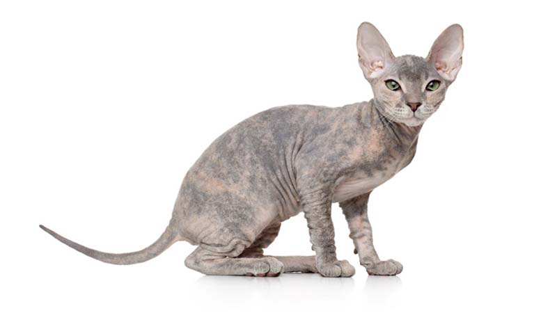 Kucing Sphynx Don