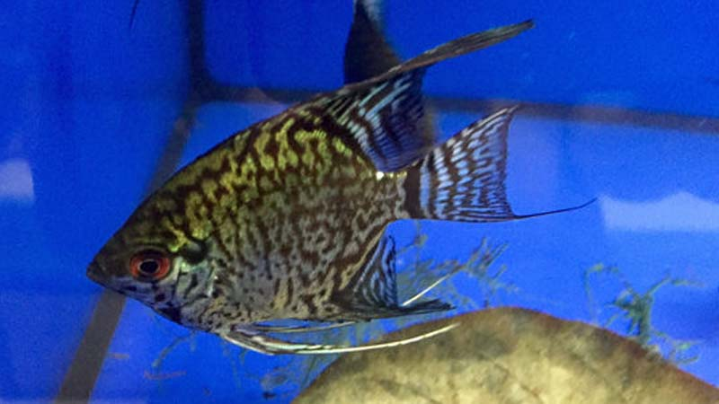 Leopard Angelfish