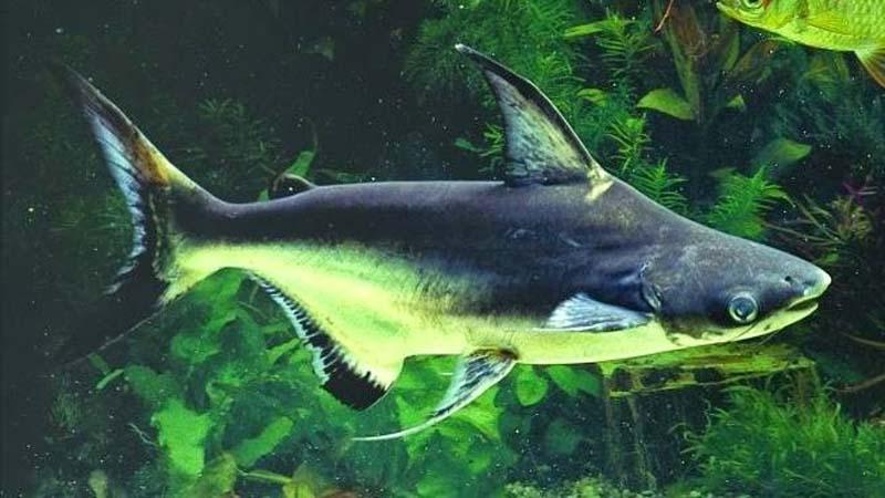 Ikan Bala Shark Harga Jenis Tips Merawat Dan Cara Budidaya