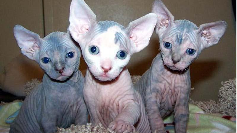 Penyakit Kucing Sphynx