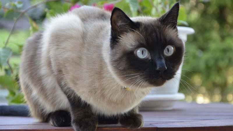 Pola Warna Kucing Siam