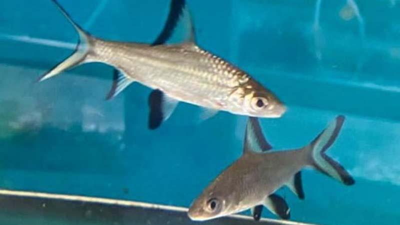 Sejarah Ikan Bala Shark