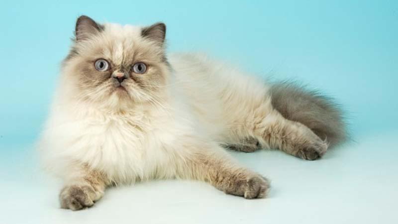 Sejarah Kucing Himalaya