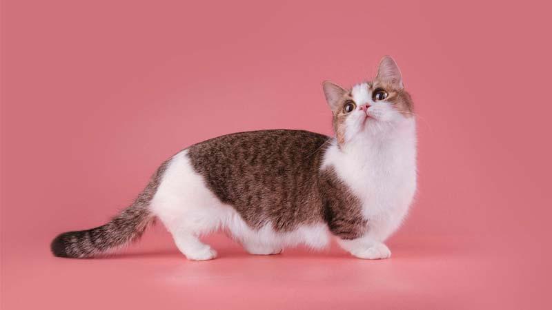 Sejarah Kucing Munchkin