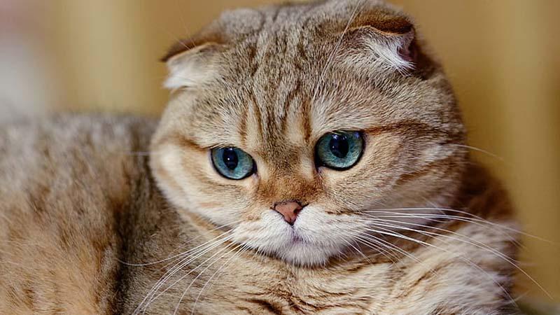 Sejarah Kucing Scottish Fold