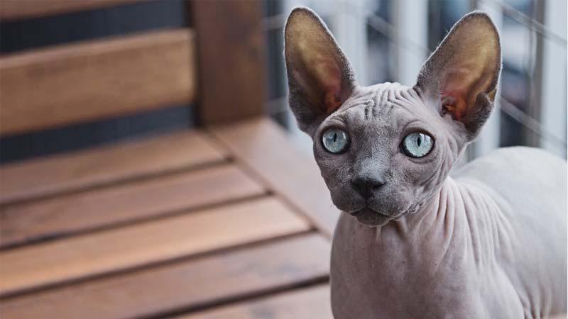 Sejarah Kucing Sphynx