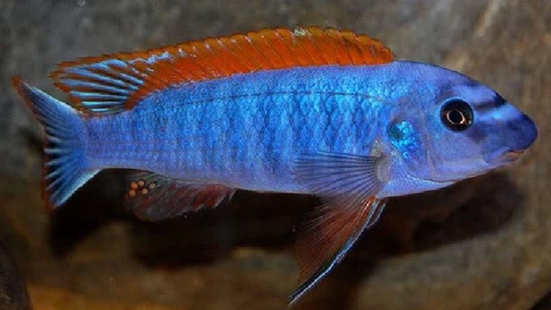 Trewavas Red Finned Cichlid