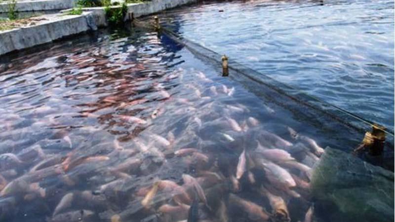bibit ikan air payau