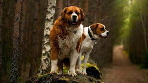 Anjing Saint Bernard