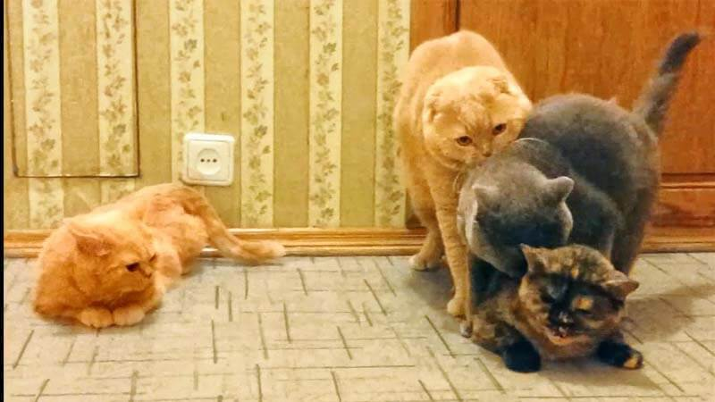 Cara Mengawinkan Kucing Beda Ras