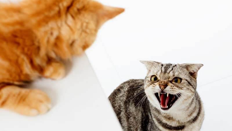Cara Mengawinkan Kucing Galak