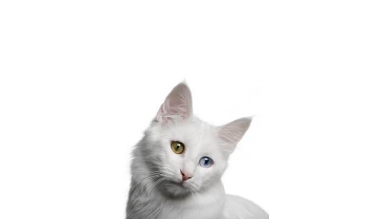 Ciri Ciri Kucing Anggora Kepala