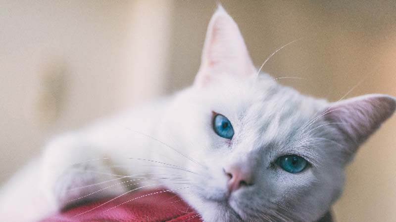 Ciri Ciri Kucing Anggora Telinga
