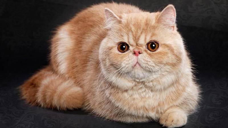 Kucing Persia Eksotic Short Hair