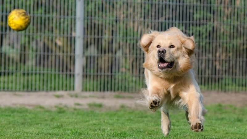 Melatih Anjing Lempar Tangkap