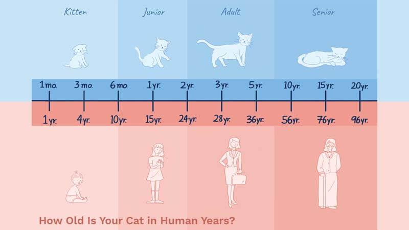 Cara Mengetahui Perbandingan Umur Kucing