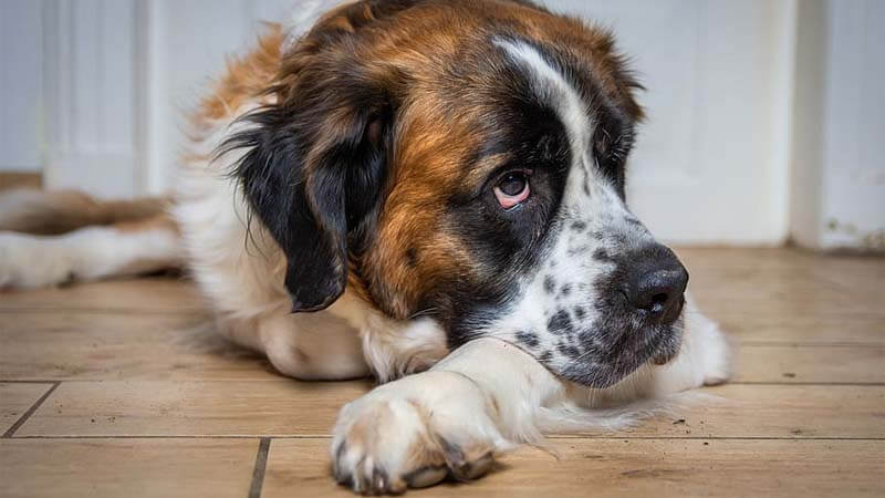 Sifat Anjing Saint Bernard