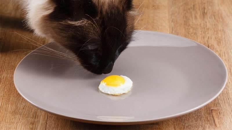 cara mengobati kucing sakit dengan kuning telur