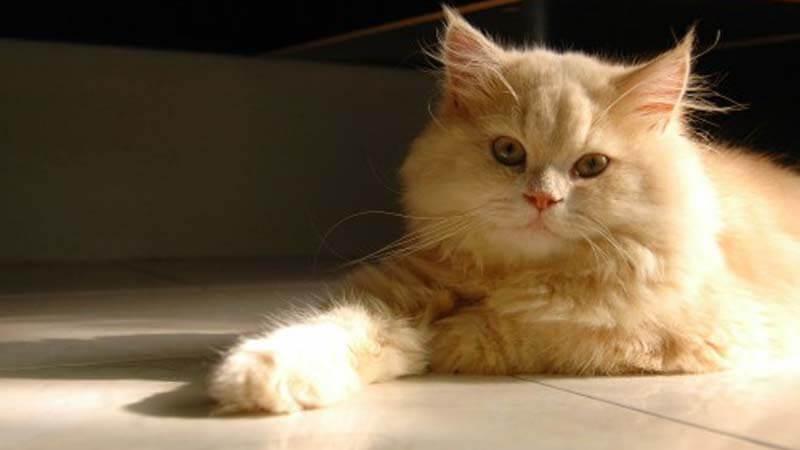cara merawat kucing persia kecil
