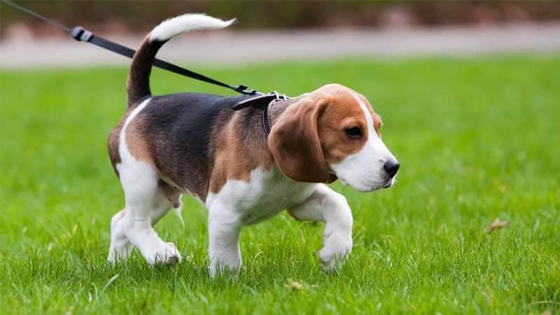 Ciri-Ciri Anjing Beagle