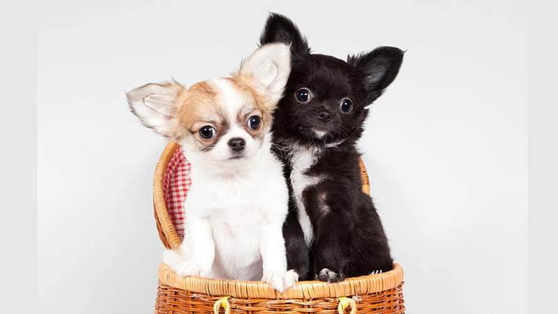 Ciri-Ciri Anjing Chihuahua