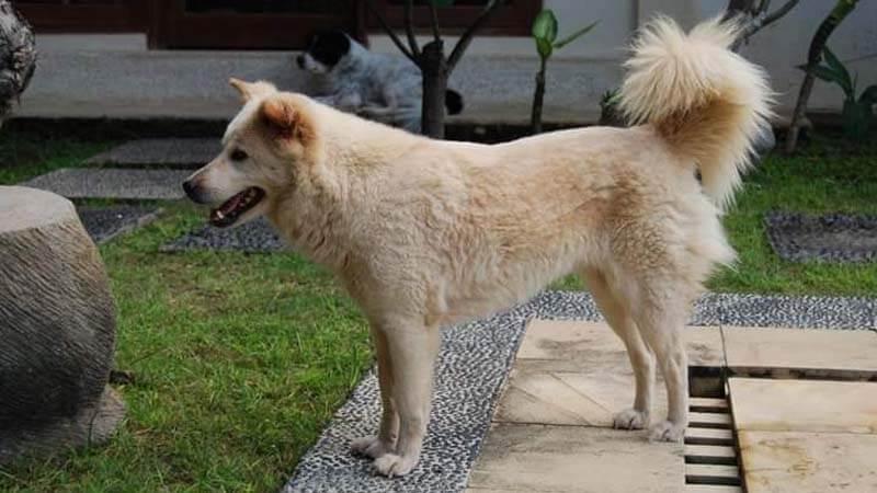 Ciri-Ciri Anjing Kintamani