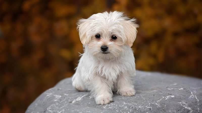 Ciri-Ciri Anjing Maltese