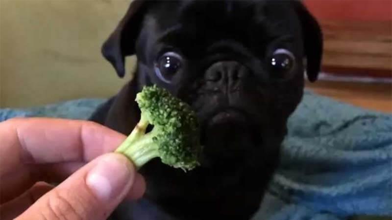 Makanan Anjing Pug