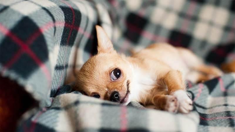 Merawat Chihuahua Anakan Puppies