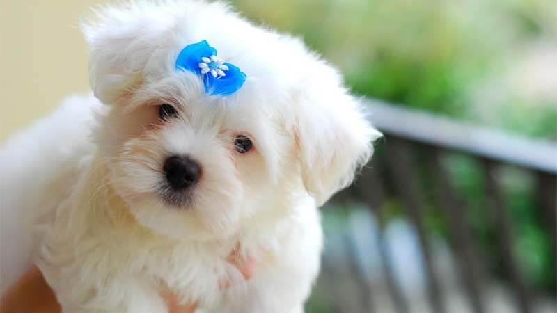 Sifat Anjing Maltese