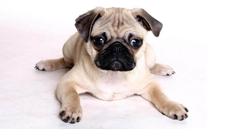 Sifat Anjing Pug
