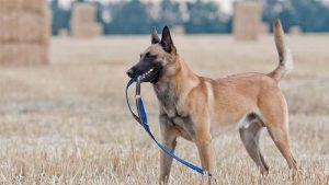 Anjing Malinois