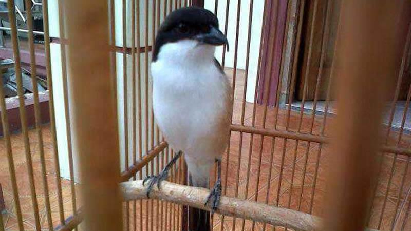 Cara Mengatasi Burung Cendet Macet Bunyi