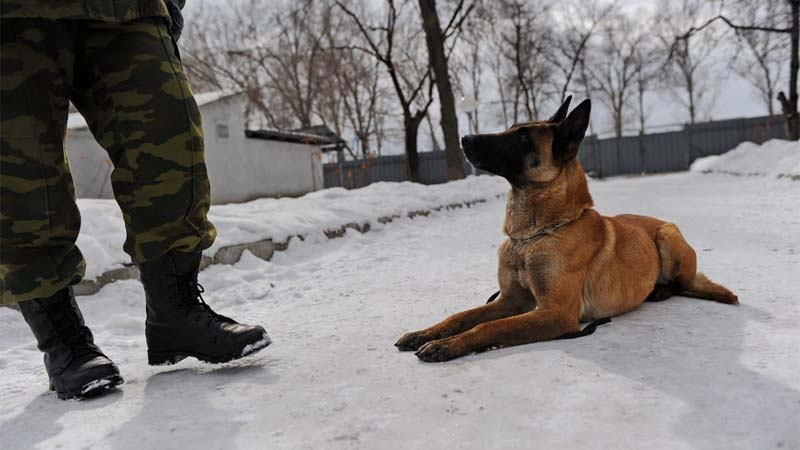 Cara Merawat Anjing Malinois