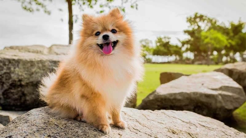Cara Merawat Anjing Mini Pom