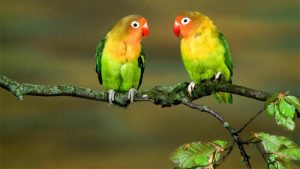 Cara Merawat Burung Lovebird Agar Gacor, Sehat, dan Cantik