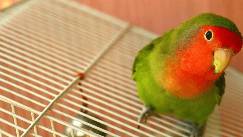 Cara Merawat Burung Lovebird untuk Beauty Contest
