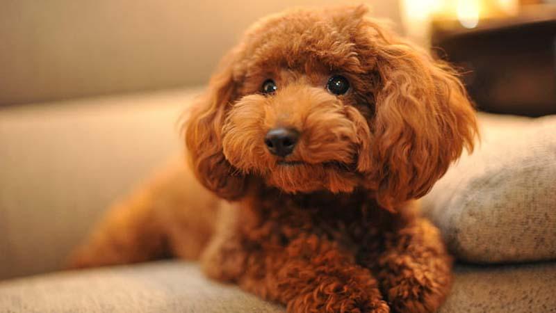 Ciri-Ciri Anjing Poodle