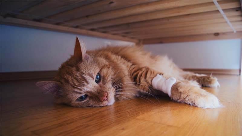 Ciri-Ciri Kucing Mau Mati
